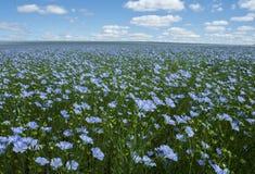 Campo del lino, lino que florece, cultivo agrícola del lino imagen de archivo