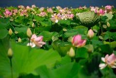 Campo del loto Foto de archivo libre de regalías