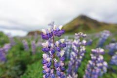 Campo del lupino contro il contesto della montagna in Islanda fotografia stock