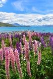 Campo del lupino in Nuova Zelanda immagine stock