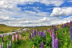 Campo del lupino in Nuova Zelanda Fotografia Stock Libera da Diritti