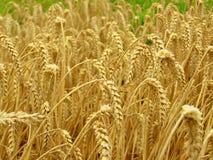 Campo del maíz Imagenes de archivo