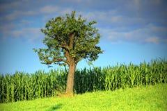Campo del maíz Foto de archivo