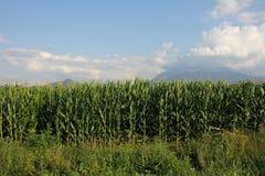 Campo del maíz Imagen de archivo