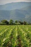 Campo del maíz Imágenes de archivo libres de regalías
