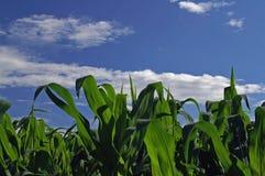 Campo del maíz Fotografía de archivo libre de regalías