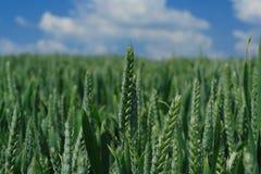 Campo del maíz Imagen de archivo libre de regalías