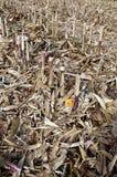 Campo del maíz después de cortar Fotos de archivo libres de regalías