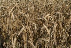 Campo del maíz, tritio imagenes de archivo