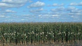 Campo del maíz, maíz, vista lateral metrajes