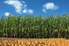 Campo del maíz y de la calabaza Fotos de archivo libres de regalías
