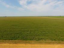 Campo del maíz y de la parte del campo del trigo que se inclina Floraciones del maíz verde en el campo Período de crecimiento y d Fotos de archivo