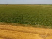 Campo del maíz y de la parte del campo del trigo que se inclina Floraciones del maíz verde en el campo Período de crecimiento y d Fotografía de archivo