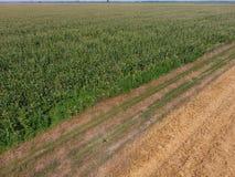 Campo del maíz y de la parte del campo del trigo que se inclina Floraciones del maíz verde en el campo Período de crecimiento y d Imagen de archivo