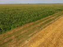 Campo del maíz y de la parte del campo del trigo que se inclina Floraciones del maíz verde en el campo Período de crecimiento y d Fotos de archivo libres de regalías