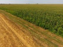 Campo del maíz y de la parte del campo del trigo que se inclina Floraciones del maíz verde en el campo Período de crecimiento y d Imagenes de archivo