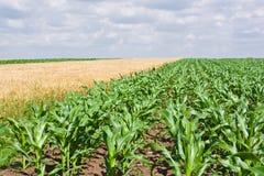Campo del maíz y de trigo Foto de archivo libre de regalías