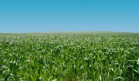 Campo del maíz Fotos de archivo libres de regalías