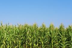 Campo del maíz o de maíz que crece en el cielo azul Imagenes de archivo