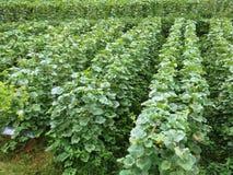 Campo del melón de la agricultura Imagen de archivo