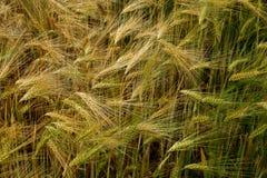 Campo del modello del grano Fotografia Stock