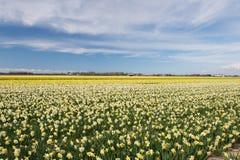 Campo del narciso bianco e giallo nei Paesi Bassi Immagine Stock