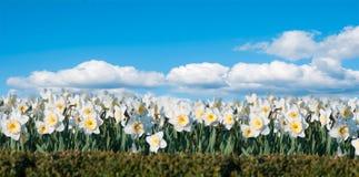 Campo del narciso dei fiori sui precedenti di cielo blu Immagini Stock Libere da Diritti