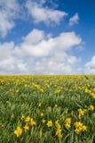 Campo del narciso della primavera Fotografia Stock Libera da Diritti