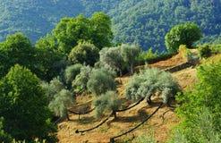 Campo del olivo en la isla mediterránea Fotografía de archivo