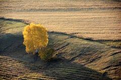 Campo del otoño con un árbol de abedul de oro Foto de archivo libre de regalías
