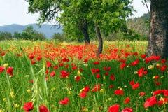 Campo del país de las flores de la amapola Imágenes de archivo libres de regalías