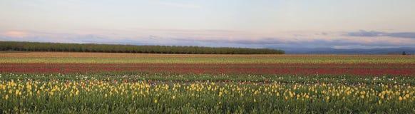 Campo del panorama de los tulipanes Imagen de archivo libre de regalías