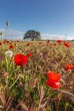 Campo del papavero del paesaggio della primavera Immagine Stock