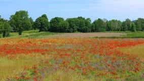 Campo del papavero di cereale in Germania archivi video