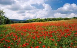 Campo del papavero di estate con il cielo nuvoloso blu Fotografia Stock