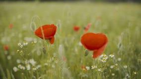 Campo del papavero Papaveri di fioritura stock footage