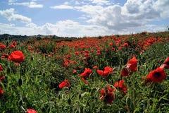 Campo del papavero in primavera Immagine Stock