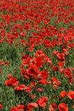 Campo del papavero rosso Immagine Stock Libera da Diritti