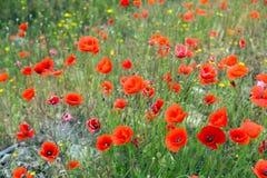 Campo del papavero rosso in primavera immagine stock libera da diritti