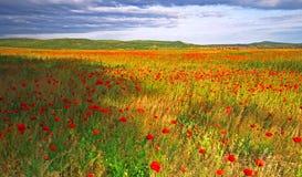 Campo del papavero in Ungheria immagine stock