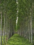 Campo del pioppo in Toscana, Italia Fotografie Stock