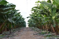 Campo del plátano en el norte de Israel Imágenes de archivo libres de regalías