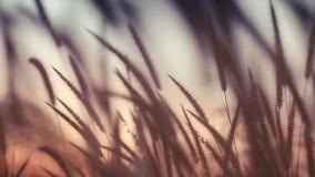 Campo del primer del estípite plumoso en la puesta del sol almacen de video