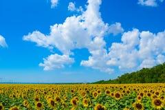 Campo del pueblo de girasoles en el cielo azul del horizonte Fotografía de archivo
