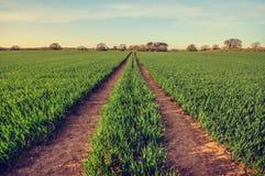 Campo del raccolto con le piste da seguire fotografie stock libere da diritti