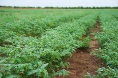 Campo del raccolto del cece Fotografie Stock