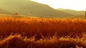 Campo del raccolto del grano video d archivio