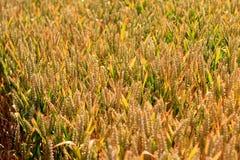 Campo del raccolto del grano Fotografie Stock Libere da Diritti