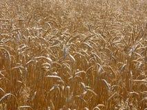 Campo del raccolto del grano Fotografie Stock