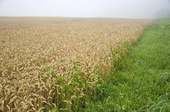 Campo del raccolto del grano di estate e foschia di mattina Immagini Stock Libere da Diritti